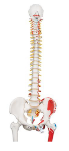 3B Classic Human Flexible Spine Model with Femur Heads & Painted Muscles