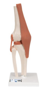 3B Functional Human Knee Joint Model with Ligaments
