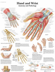 Hand and Wrist Chart